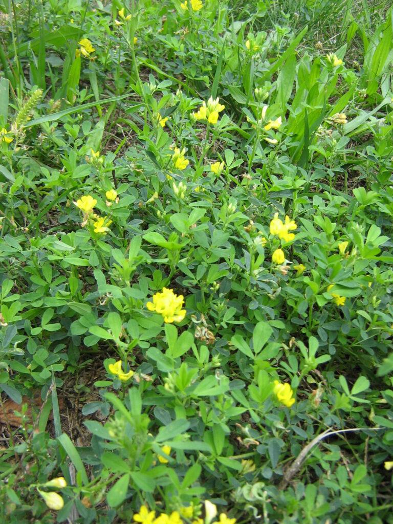 komonica zioła lecznicze